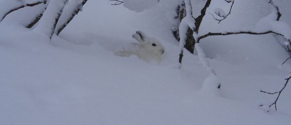Bunny in Japan in deep winter snow